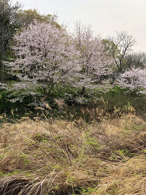 大高緑地公園 葉桜寸前